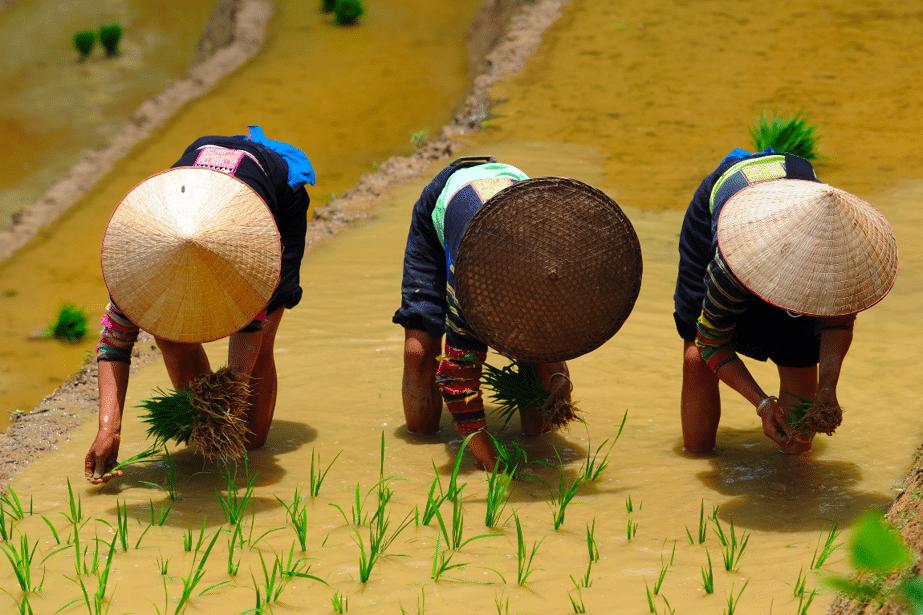 cueilleurs professionnels dans une rizière vietnamienne
